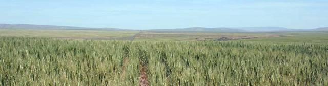 wheatwebhorizontal